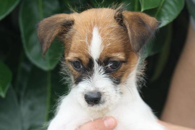 Isilya Chiot Croise Autre Chihuahua A Adopter Dans La Region Ile De France