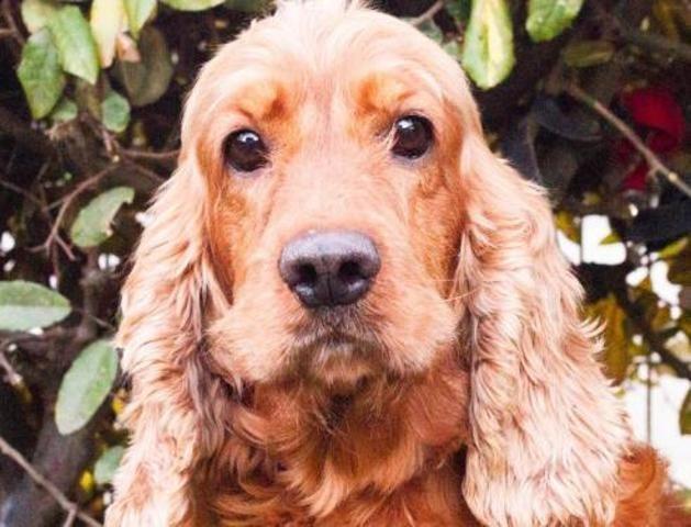 Golden Chien Croise Autre Cocker Anglais Spaniel A Adopter Dans La Region Bretagne