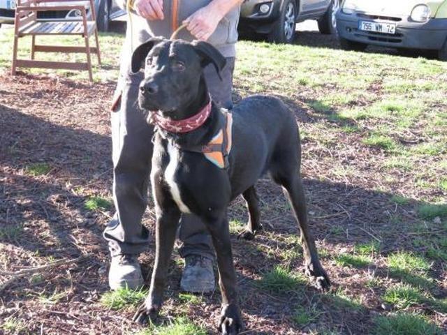Phenix Reserve Chiot Croise Autre Dogue Allemand A Adopter Dans La Region Pays De La Loire
