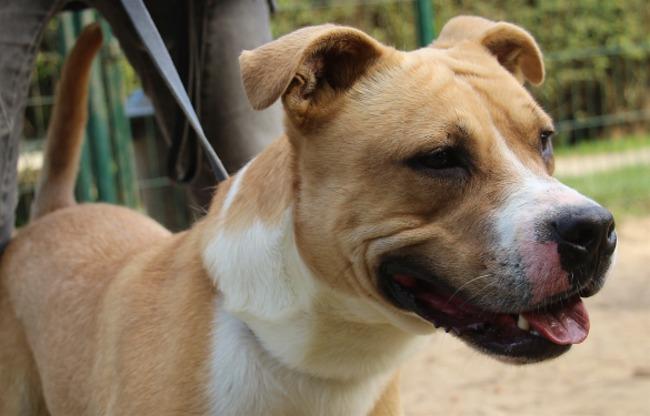 kuzco r serv oaa16895 chien crois autre dogue argentin adopter dans la r gion ile de. Black Bedroom Furniture Sets. Home Design Ideas