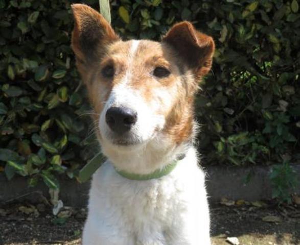 BILLY - x fox terrier 2 ans -Spa de Rennes (35) Chien-croise-autre-fox-terrier-poil-dur-adopter-380696-2
