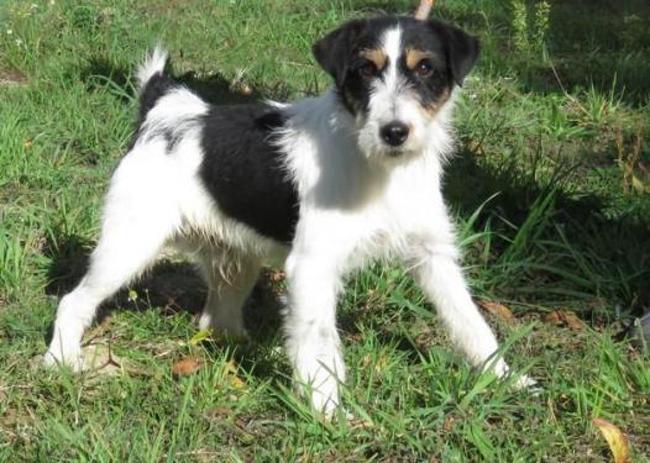 Basile Chien Croise Autre Fox Terrier Poil Dur A Adopter Dans La Region Pays De La Loire