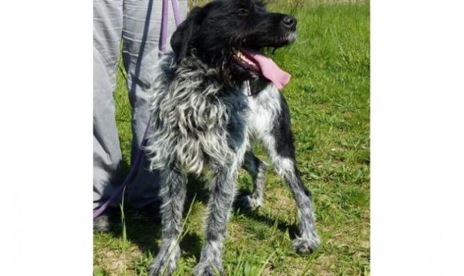 ARLEY - x griffon korthal  noir/gris/blanc 6 ans  (4 ans et demi de refuge) - Spa de Vaux le Penil (77) Chien-croise-autre-griffon-a-poil-dur-korthals-adopter-317357-3