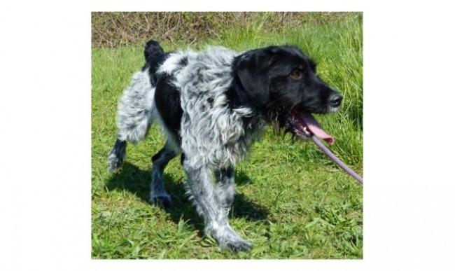ARLEY - x griffon korthal  noir/gris/blanc 6 ans  (4 ans et demi de refuge) - Spa de Vaux le Penil (77) Chien-croise-autre-griffon-a-poil-dur-korthals-adopter-317357-4