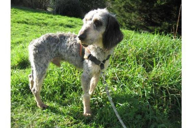 OLIVER - x griffon 5 ans - Spa de Plouhinec (29) Chien-croise-autre-griffon-adopter-359410