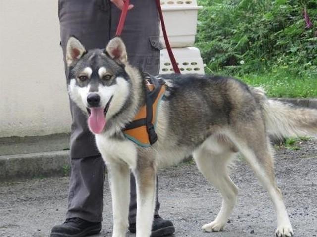 Tchao : chien croisé / autre (husky siberien) à adopter