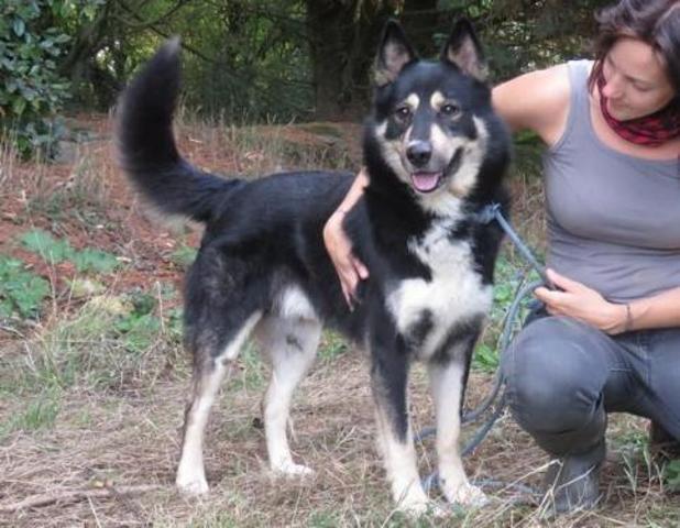 Igloo : chien croisé / autre (husky siberien/ berger) à