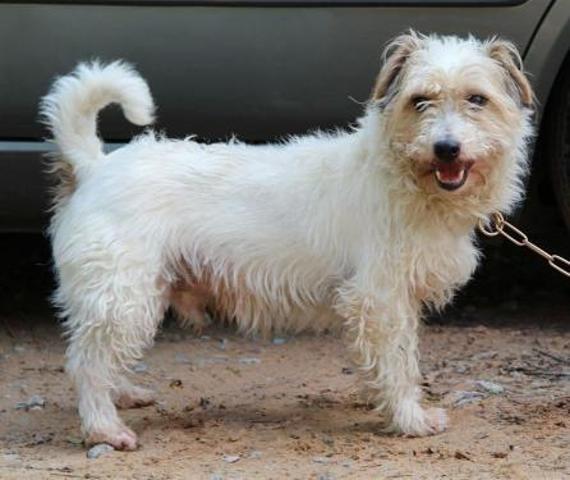 PHIDIAS - x jack russel 11 ans - Spa de Forbach (57) Chien-croise-autre-jack-russel-terrier-adopter-273957-5