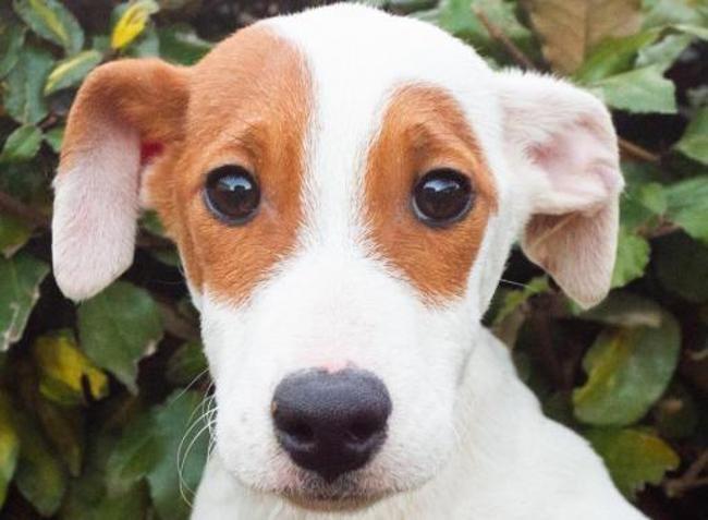 Phobos Chiot Croise Autre Jack Russel Terrier A Adopter Dans La Region Bretagne
