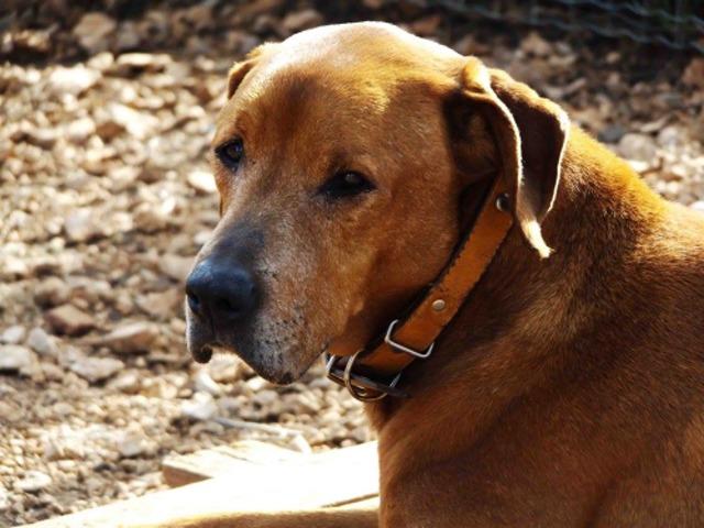 POLO - x labrador/beauceron fauve 12 ans (11 ans de refuge) eligible FALD refuge des chiens en liberté,  Aix en Provence (13) Chien-croise-autre-labrador-retriever-adopter-272440