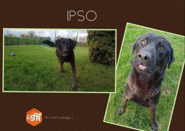 Ipso : chien croisé / autre (labrador (retriever)) à