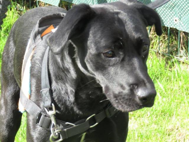 ZUMA - x labrador 4 ans - Spa de Saint Omer (62) Chien-croise-autre-labrador-retriever-adopter-289648