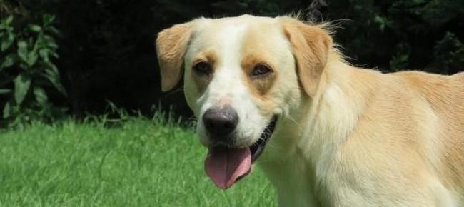 nice chien crois autre labrador retriever adopter dans la r gion midi pyr n es. Black Bedroom Furniture Sets. Home Design Ideas