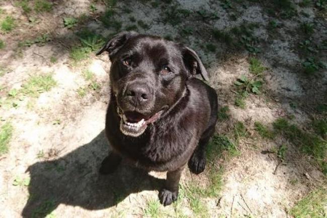 SAMm - x labrador 10 ans   (4 ans de refuge) - Spa de Luynes (37) Chien-croise-autre-labrador-retriever-adopter-389116