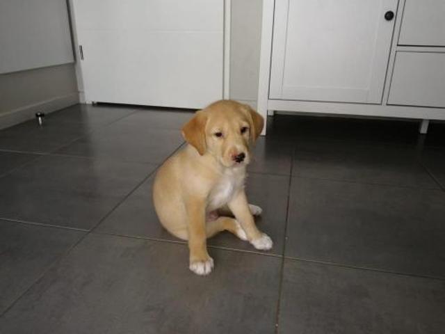 Zion Chiot Croise Autre Labrador Retriever A Adopter Dans La Region Aquitaine
