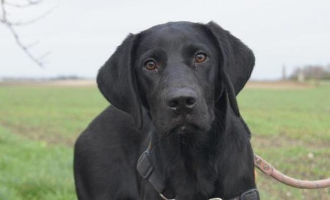 Yoko Reserve Chiot Croise Autre Labrador Retriever Epagneul A Adopter Dans La Region Centre