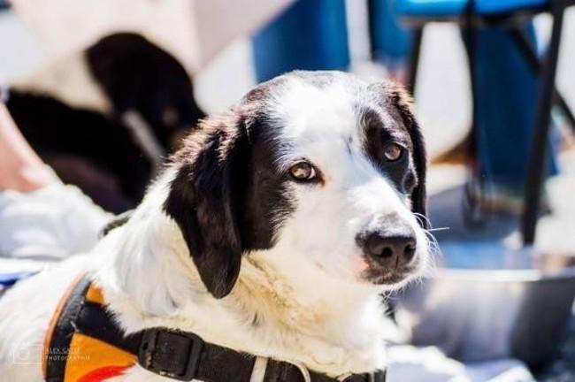 joshua chien crois autre pointer adopter dans la r gion limousin. Black Bedroom Furniture Sets. Home Design Ideas
