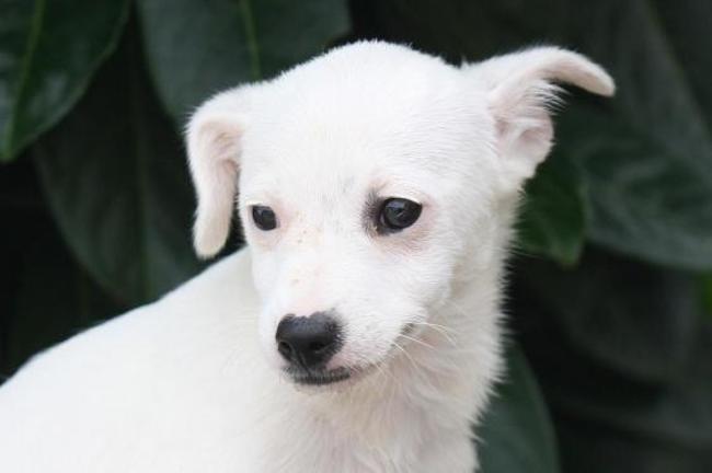 Yavana Chiot Croise Autre Ratier Jack Russel Terrier A Adopter Dans La Region Ile De France