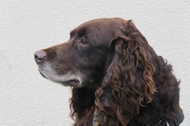 GETRO - x springer 8 ans - Spa de Vitre (35) Chien-croise-autre-springer-adopter-439277-3