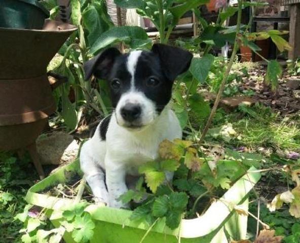 Perle Chiot Croise Autre Terrier A Adopter Dans La Region Nord Pas De Calais
