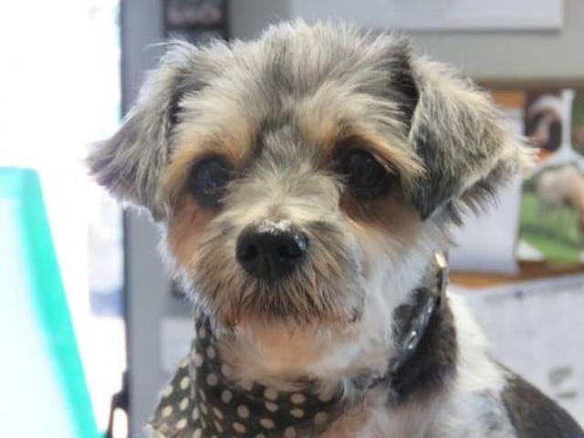 Carla Chien Croise Autre Yorkshire Terrier A Adopter Dans La