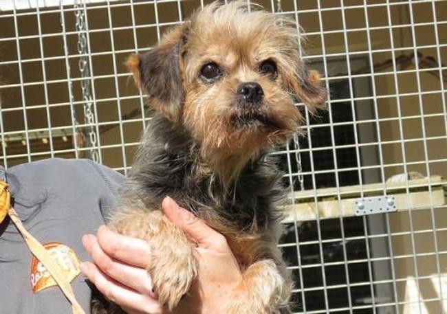 Paresseuse Chien Croise Autre Yorkshire Terrier A Adopter Dans La Region Pays De La Loire