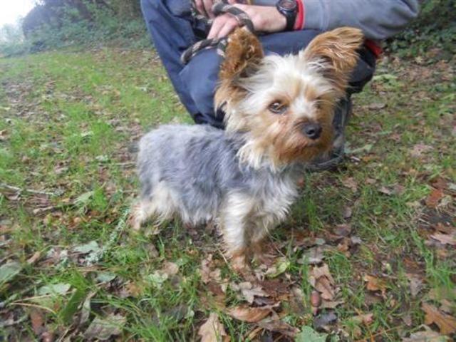 Robie Reservee Chien Croise Autre Yorkshire Terrier A Adopter Dans La Region Bretagne