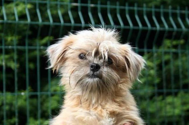 Plumette Reservee Chiot Croise Autre Yorkshire Terrier Shih Tzu A Adopter Dans La Region Centre