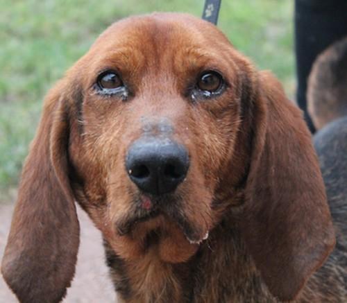 Jingle : chien croisé basset artesien normand à adopter