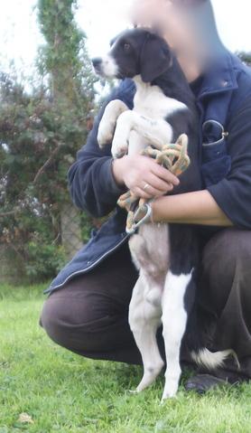jango chiot crois beagle adopter dans la r gion pays de la loire. Black Bedroom Furniture Sets. Home Design Ideas