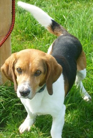 Athys Chien Crois 233 Beagle Basset 224 Adopter Dans La