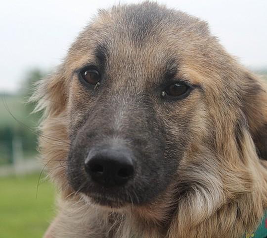 Alba chiot crois berger adopter dans la r gion lorraine - Race chien volt ...