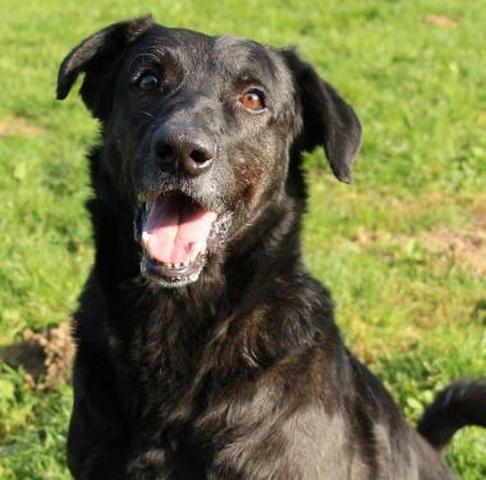 prince noir compiegne chien crois berger adopter dans la r gion ile de france. Black Bedroom Furniture Sets. Home Design Ideas