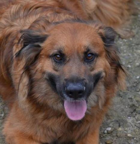 Iron : chien croisé berger à adopter dans la région Rhône
