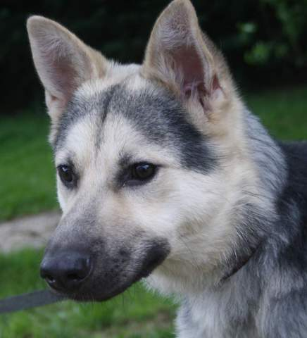 Youry Chien Crois 233 Berger Allemand Husky 224 Adopter