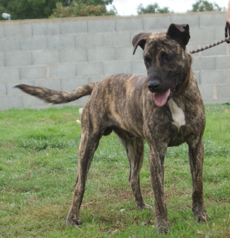 Berger Malinois A Donner Nos Amis Les Animaux