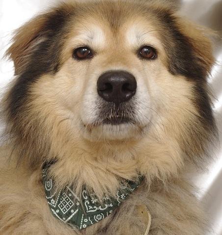 ulysse propre et calme en int rieur chien crois berger chowchow adopter dans la r gion. Black Bedroom Furniture Sets. Home Design Ideas