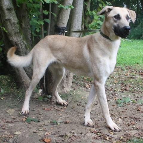 Patxi : chien croisé berger d'anatolie à adopter dans la