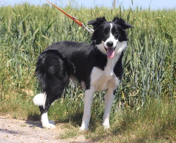 Border Collie - Hunde - kaufen verkaufen auf Quokade