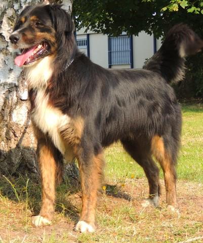 sam caa3688 chien crois bouvier bernois adopter dans
