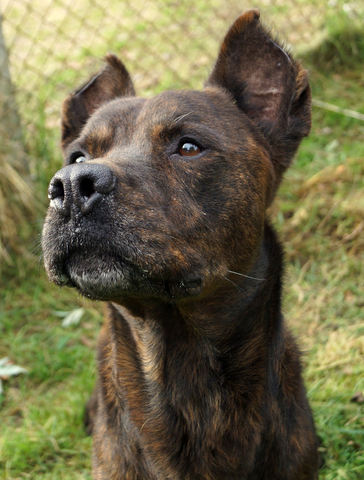 Miguel : chien croisé cane corso/beauceron à adopter dans