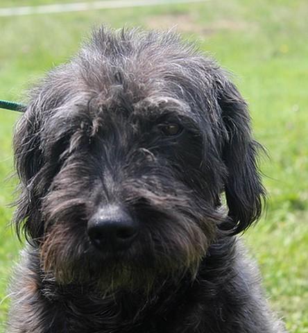 Galibot chien crois caniche griffon adopter dans la - Volt chien race ...