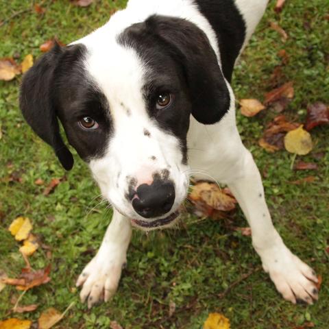 Lago : chien croisé chasse labrador à adopter dans la