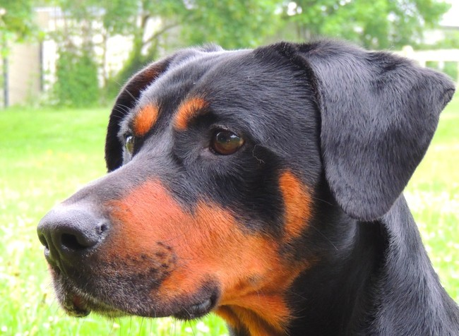 Volt caa3587 chien crois dobermann adopter dans la - Race chien volt ...