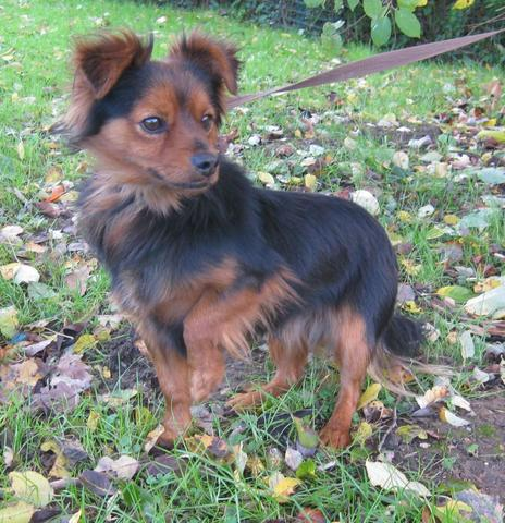 chocolat chien crois epagneul nain adopter dans la r gion ile de france. Black Bedroom Furniture Sets. Home Design Ideas