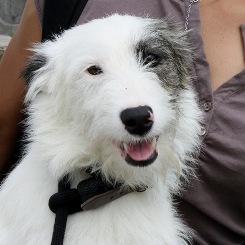 Joe : chien croisé griffon fox terrier à adopter dans la