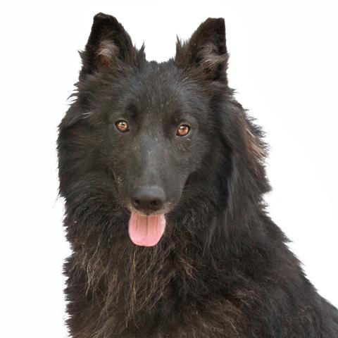 Jakko : chien croisé groenendael à adopter dans la région