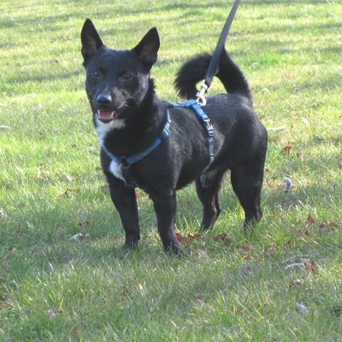 Volt chien crois jack spitz adopter dans la r gion - Volt chien race ...