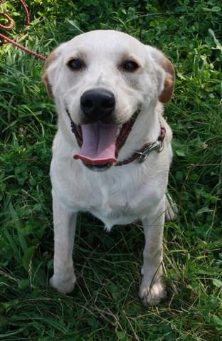Volt chiot crois labrador adopter dans la r gion bretagne - Volt chien race ...