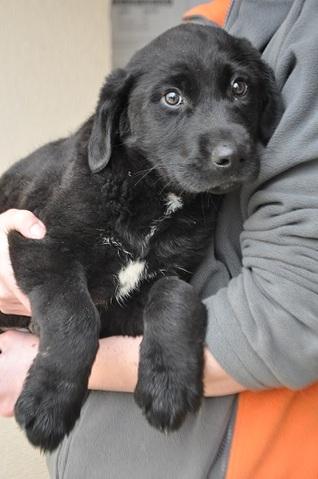 Lolo (2 mois) : chiot croisé labrador à adopter dans la